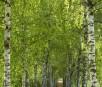Frisch wie der Frühling ist ein Spaziergang durch die Birkenallee